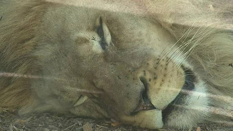 The lions were tested for COVID-19 when they started exhibiting symptoms.